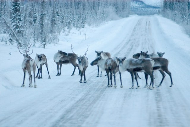 Brooks Range Caribou