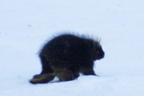 Porcupine in Atigun Pass