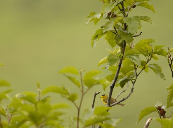 Lemon Flavored Tweety Bird